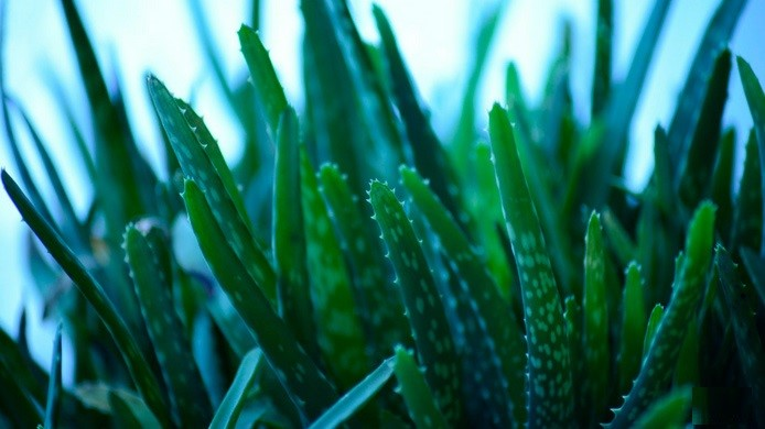 ALOE VERA PLANT HEALTH BENEFITS